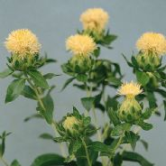 Carthamus tinctorius White Grenade - Safflower - 50 seeds